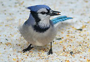 Blue Jay by donnatello129