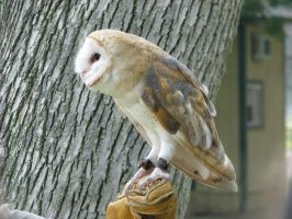 Barn owl 1 by CRStock