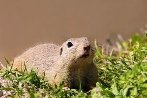 European ground squirrel by RichardConstantinoff