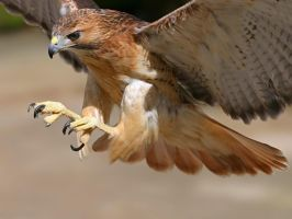 Hawk Wildlife HD wallpaper set by dAKirby309