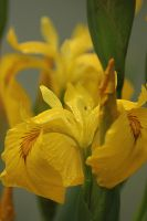 iris yellow 1 by marob0501