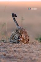 Leopard (sunset) by vinayan