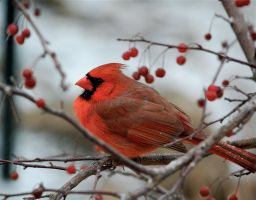 Cardinal in a crab apple tree by MagicCometART
