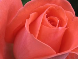 the rose by igs