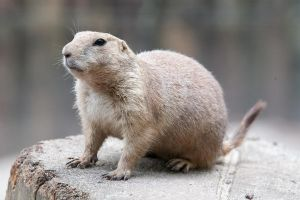 Prairie dog 001 by ISOStock