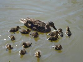 mother duck and baby ducklings by iluvhorsez-25