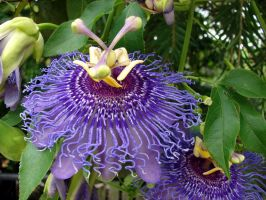 Purple Passion Flower by Fugu-5