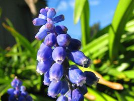 Flower Stock - Grape Hyacinths by Spyderwitch
