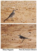 white wagtails by aLdEeb