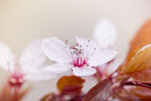 Blossom pearls by Pamba