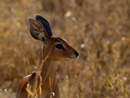 Steenbok by psychostange
