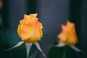 yellow rose 2 by xael-lones