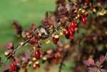 Barberry berries and blossoms by BlueSolitaire