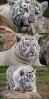 Tiger Cub Series by cassandra-heatley