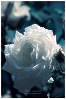 White Rose by Viliggoly