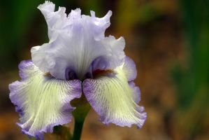 Iris at Descanso Gardens by Vividlight