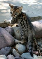 Bengal Kitten - Spotted by NaamahFeral