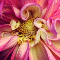 Dahlia Dreams by glimpseofshadows