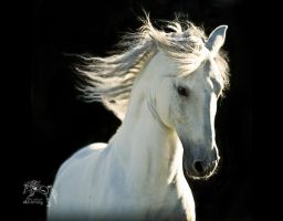 White Stallion, Head Study by kvickrey