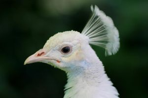 White peacock portrait by pagan-live-style