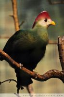 Turaco by amaliabastos