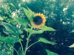My other sunflower just opened up by PumpkinPatch1993