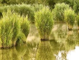 Reeds by Noncsi28