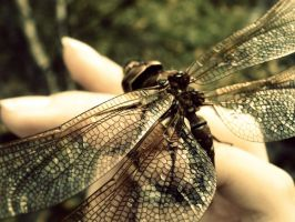dragonfly's wings 2 by SilkPiggy