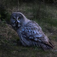 Great Grey Owl I by ChrilleKroll