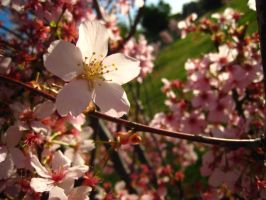 morning cherry blossoms -5- by tomoko-x