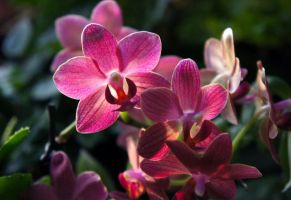 Orchid by miss-gardener