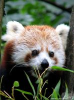 Red panda: I want to eat yooou by Allerlei