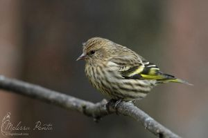 Siskin by mydigitalmind