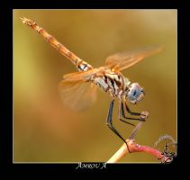 Golden dragonfly by AMROU-A