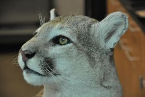 Mountain Lion 11 by Robriel-Stock