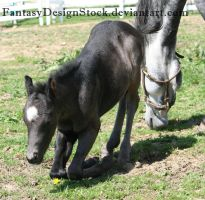 Foal-Carl 10 by FantasyDesignStock