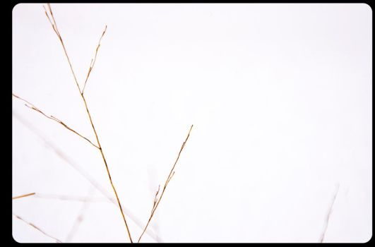 shoots of grass against snow. by significantother