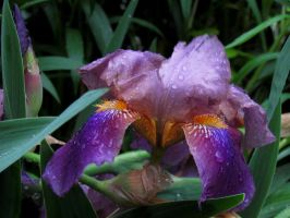 Iris by Sally599