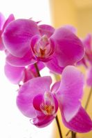 Orchids by Cidien