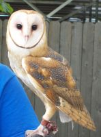 Barn Owl 2 by natureflowerstock