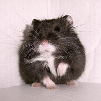 Hamster II by KW-stock