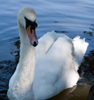 Swan 260611 1 by New-Dawn-Productions