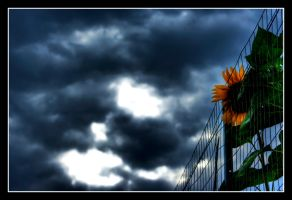 sunflower in cage by lalas