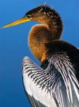 Anhinga by markroutt