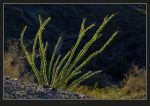 Backlit Ocotillo 21513 by HogRider
