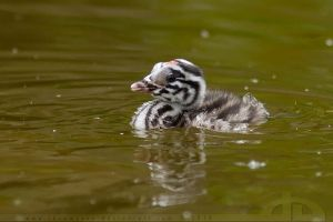 Little Great Crested Grebe by thrumyeye