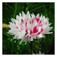 Centaurea - pink and white by miss-gardener