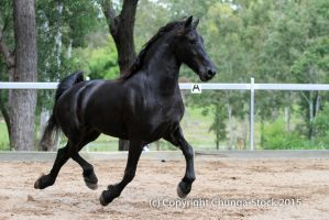 E Friesian extended trot side view all legs up by Chunga-Stock