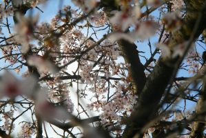 Gazing Up The Cherry Tree by vmulligan
