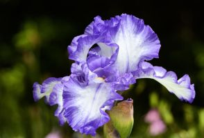 Purple Frilled White Iris for Rich by MayEbony